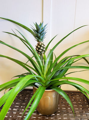 Decorative Pineapple Plant from Bakanas Florist & Gifts, flower shop in Marlton, NJ