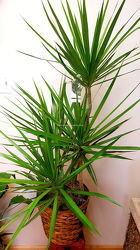 Dracaena Marginata from Bakanas Florist & Gifts, flower shop in Marlton, NJ
