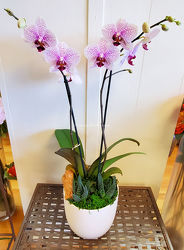 Phalaenopsis Cairo Lunar from Bakanas Florist & Gifts, flower shop in Marlton, NJ