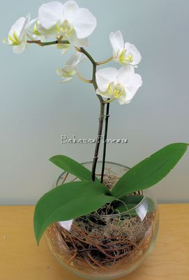 Large Phalaenopsis Orchid from Bakanas Florist & Gifts, flower shop in Marlton, NJ