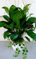 Splendid Spathiphyllum from Bakanas Florist & Gifts, flower shop in Marlton, NJ