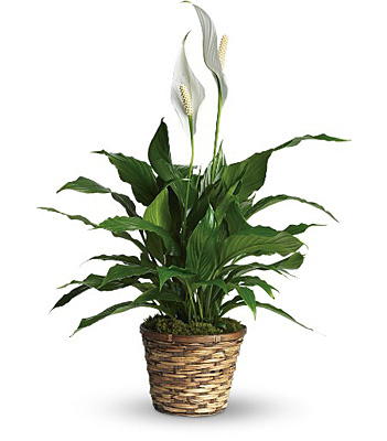 Simply Elegant Spathiphyllum from Bakanas Florist & Gifts, flower shop in Marlton, NJ