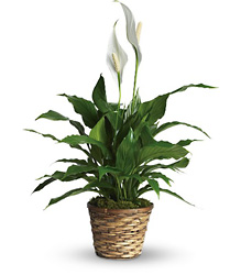 Simply Elegant Spathiphyllum - Small from Bakanas Florist & Gifts, flower shop in Marlton, NJ