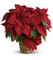 Red Poinsettia from Bakanas Florist & Gifts, flower shop in Marlton, NJ