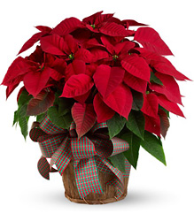 Large Red Poinsettia from Bakanas Florist & Gifts, flower shop in Marlton, NJ