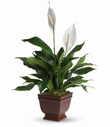 Lovely One Spathiphyllum Plant from Bakanas Florist & Gifts, flower shop in Marlton, NJ