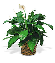 Medium Spathiphyllum Plant from Bakanas Florist & Gifts, flower shop in Marlton, NJ